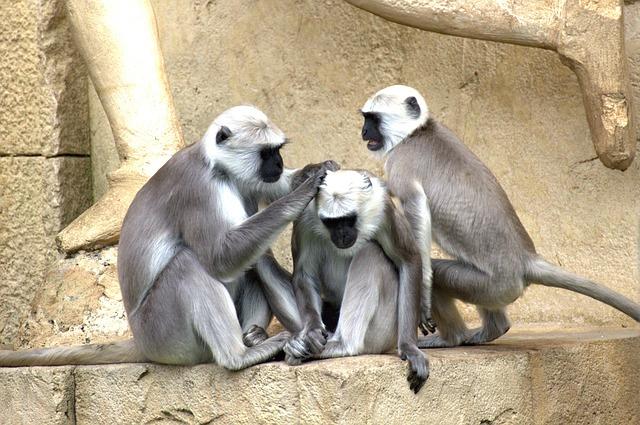 green-monkeys-112275_640
